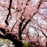 さきたま古墳公園内の丸墓山古墳へ登って桜を見てきた